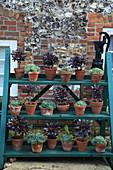 Echeverias and tree houseleeks 'Black Night' in terracotta pots