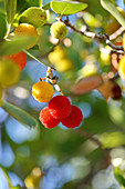 Branch of a strawberry tree with yellow and red fruits