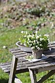 Wood anemones in pots as heralds of spring