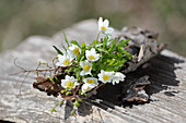 Small bouquet of wood anemones on bark