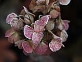 Hoarfrost on faded hydrangea flowers