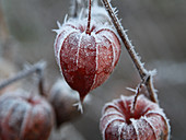 Hoarfrost on physalis seed pods
