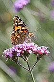 Painted lady butterfly on verbena flower