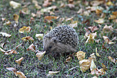 Young hedgehog foraging in late autum