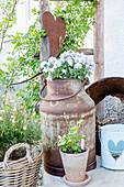 Violas planted in rustic milk churn in garden