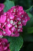 Nahaufnahme einer pinken Hortensienblüte