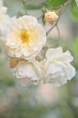 Semi-double white rambler rose 'Ghislaine de Feligonde'