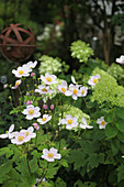 Japanese anemones 'Septembercharme' in flowerbed