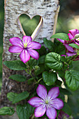 Flowering clematis in front of birch wood with love-heart cut-out