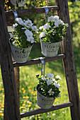 Horned violets in pots hung on a wooden ladder