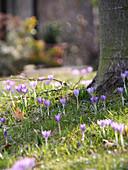 Tommasini's crocus growing in grass below tree in spring