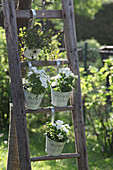 Pots of horned violets and pohuehue hung on wooden ladders