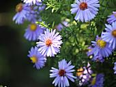Nahaufnahme von Blüten der Glattblattaster