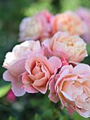 Blüten von Rose 'Marie Curie'
