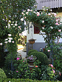 Clipped box bushes, roses and climbing roses in front garden