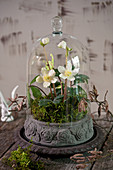 Christmas rose under a bell jar