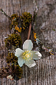 Christmas rose - single flower with moss and twig