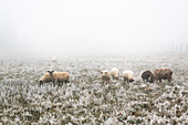Sheep in frosty meadow