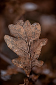 Autumnal oak leaf