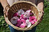 Lilac and white rose mallow and common mallow flowers in basket