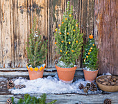 Small potted conifers decorated with decorations cut out of orange peel