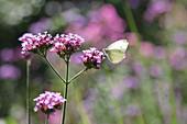 Cabbage white butterfly on Verbena bonariensis flower