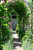 Garden path under rose arch with climbing roses, lavender and boxwood in the bed