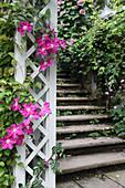 Clematis 'Ville de Lyon' growing on trellis next to steps