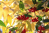 Fruits of willow-leaved cotoneaster
