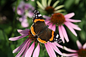Admiral butterfly on an Echinacea flower