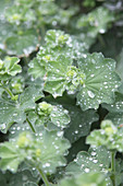 Raindrops on lady's mantle leaves