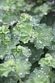 Regentropfen auf Blättern vom Frauenmantel