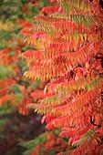 Sumac tree in autumn colours