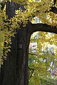 Bird nesting box on ginkgo tree