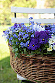 Basket planted with forget-me-nots and violas