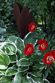 Red peony 'Balliol' and hostas