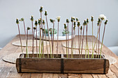 Dandelions in a rustic wooden box