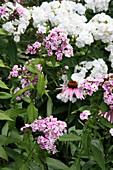 Phlox and echinacea in flowerbed