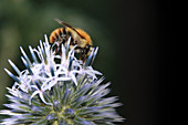 Bumblebee on flowering of thistle