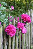 Peonies growing through garden fence