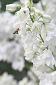 Bee on white delphinium