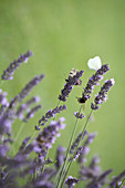 Butterflies and bumblebee on flowering lavender