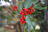 Holly 'Alaska' with red berries