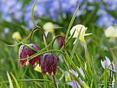 Snake's head fritillaries and narcissus 'Spoirot'