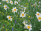 Narcissus 'Flower record', grape hyacinths and lady's smock, growing in field of flowers in spring