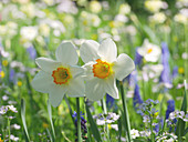 Daffodil 'Flower Record' in the flower meadow