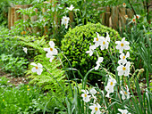 Pheasant's eye narcissus in spring garden