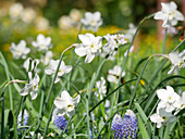 Flower meadow in spring with mini daffodil 'Xit' and grape hyacinths 'Ocean Magic'
