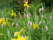 Narcissus and fox's grape fritillaries in field of flowers in spring