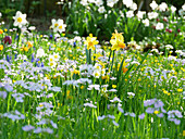 Narcissus, lady's smock and snake's head fritillaries in field of flowers in spring